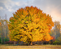 https://Duncan.co/tree-with-fall-color-at-edge-of-forest