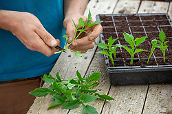 Taking basal cuttings from dahlias in the greenhouse. Trimming cuttings and placing in module tray