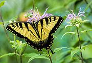 Eastern Tiger Swallowtail on Wild Bergamot