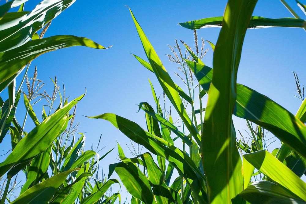 Tall corn plants with sunny blue sky.