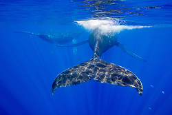 Humpback whales, Megaptera novaeangliae, displaying their propulsion equipment,  powerful tail flukes. Moorea, French Polynesia, Pacific Ocean