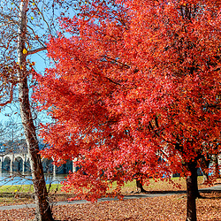 A brightly colored tree in a park along the Susquehanne River.