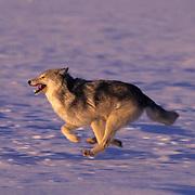 Gray Wolf, (Canis lupus) Running. Montana.Winter. Captive Animal.