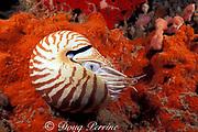 chambered nautilus,<br /> Nautilus pompilius (c-r)<br /> Borneo, Malaysia, ( Celebes Sea )