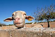 Sheeps in Formentera, Spain