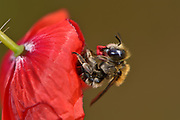 The poppy bee (Osmia papaveris or Hoplitis papaveris) is a leaf-cutting bee that lines its cells with pieces of poppy petals. First, the female digs a nest in sandy soil. When the nest is large enough, the bee starts cutting small pieces from petals of the common poppy (Papaver rhoeas) with its mandibles and presses them into a tiny package which is then carried to the nest. The package is unfolded again in the brood chamber to serve as a lining. Bamberg, Germany  | Mohnbiene, Mohn-Mauerbiene (Osmia papaveris) schneidet aus den Blütenblättern des Klatsch-Mohn (Papaver rhoeas) kleine Stückchen. Drückt diese zu einem Päckchen und fliegt sie zu ihrem Nest im Sandboden. Dort kleidet die Biene die Brutzelle mit den wieder entfalteten Blütenblattstücken aus. Die Mohnbiene ist auch unter den Synonymen Apis papaveris und Hoplitis papaveris bekannt. Landkreis Bamberg, Deutschland