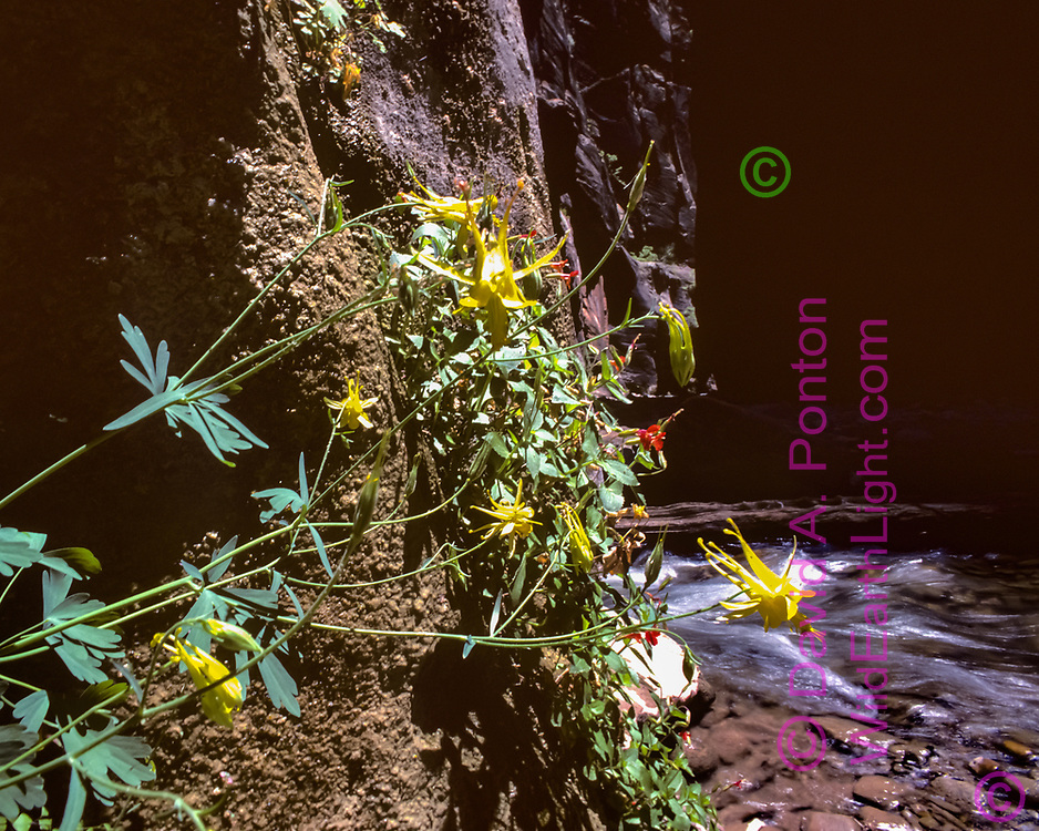 Wildflowers (Golden columbine, scarlet monkey flower) on cliff in the Zion Narrows along the North Fork of the Virgin River, © David A. Ponton