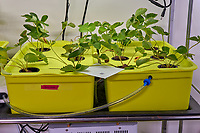 Hydroponic Tub 03 (Left) Tub 04 (Right). L01-L06 Sweet Charlie Strawberry free roots (ISONS) ; R01-R06 Sweet Charlie Strawberry free roots (ISONS) . Image taken with a Leica TL-2 camera and 35 mm f/1/4 lens (ISO 160, 35 mm, f/11, 1/2 sec).