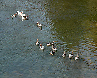 Geese. Hot Spring State Park. Image taken with a Nikon D200 camera and 80-400 mm VR lens.