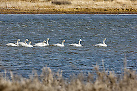 Tundra Swans. Arapaho National Wildlife Refuge. Image taken with a Nikon D2XS and 200-400 mm f/4 VR lens (ISO 400, 400 mm, f/8, 1/2000 sec). Raw image processed with Capture One Pro 6, Photoshop CS5, Nik Define, Nik Color Efex Pro 2.