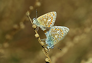 Common Blue Butterfly, pair mating, Polyommatus icarus, resting on stem, UK, brown muted colurs, soft