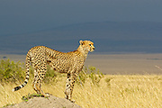 Cheetah on mound with her amazing cheetah body shape against a blurred background of the African savannah.