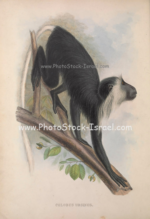 Colobus ursinus From the book Zoologia typica; or, Figures of new and rare animals and birds described in the proceedings, or exhibited in the collections of the Zoological Society of London. By Fraser, Louis. Zoological Society of London. Published by the author in London, March 1847