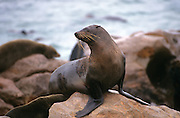 Cape fur seal (Arctocephalus pusillus). The female (cow) is smaller and lighter coloured than the male (bull). The Cape, or South African, fur seal feeds primarily on fish, octopuses and shellfish. The Cape fur seal have a lifespan of between 20 & 40 years. It forms large colonies on the coasts of Namibia and South Africa. Photographed on Cape Cross, Namibia.