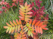 Orange and green leaf pattern in Glacier National Park, Montana, USA. Since 1932, Canada and USA have shared Waterton-Glacier International Peace Park, which UNESCO declared a World Heritage Site (1995) containing two Biosphere Reserves (1976).