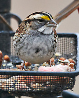 White-throated Sparrow (Zonotrichia albicollis). Image taken with a Nikon D850 camera and 600 mm f/4 VR lens