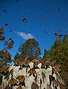 Monarch Butterflies mass along the path in the Sierra Pellon mountain at the Monarch Butterfly Biosphere Reserve in Sierra Pellon central Mexico in Michoacan State. Each year hundreds of millions Monarch butterflies mass migrate from the U.S. and Canada to Oyamel fir forests in the volcanic highlands of central Mexico. North American monarchs are the only butterflies that make such a massive journey--up to 3,000 miles (4,828 kilometers).