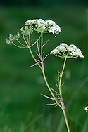 PIGNUT Conopodium majus (Apiaceae) Height to 25cm<br /> Delicate, upright perennial that is seldom branched and which has smooth, hollow stems. Found in open woodland and grassland, occurring mainly on dry, acid soils. FLOWERS are white and borne in umbels, 3-6cm across (Apr-Jun). FRUITS are narrow and egg-shaped with erect styles. LEAVES comprise finely divided basal leaves that soon wither and narrow-lobed ones on stem. STATUS-Locally common throughout the region.