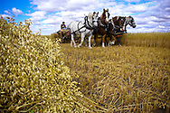 Photo Randy Vanderveen.Grande Prairie, Alberta.Lloyd Finch uses a team of heavy horses to harvest a crop of oats the old-fashioned way.