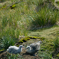 A Southern Giant Fulmar tends its chick at their nest on Prion Island, Bay of Isles, South Georgia, Antarctica.