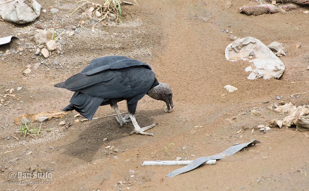 Black Vulture, Coragyps atratus, on the shore of the Tarcoles River, Costa Rica