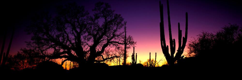 MEXICO, BAJA CALIFORNIA Central Desert; Cardon cactus