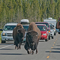 American Bison (Bison bison) stop traffic on a road in Yellowstone National Park, Wyoming.