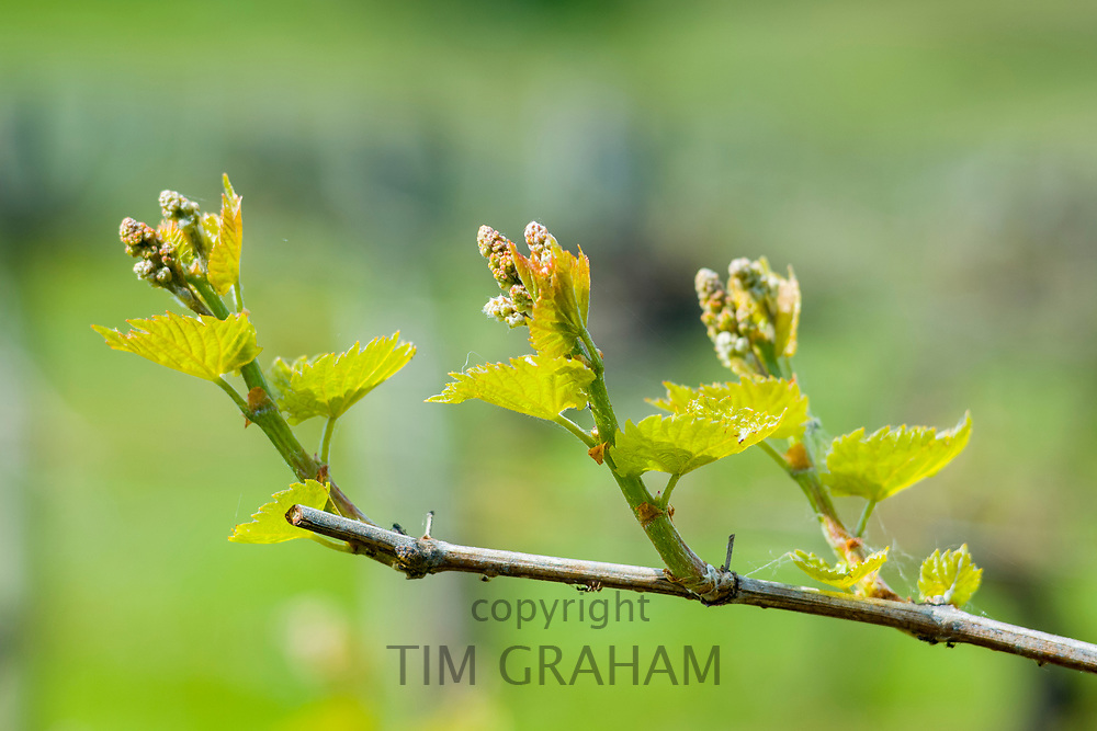 New growth on a vine in late Spring / early Summer in an English vineyard at Three Choirs Vineyard in Newent, Gloucestershire, UK