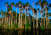 Palm trees at Lake Sandova, Peruvian Rainforest, South America