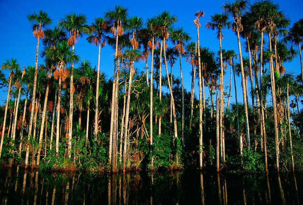 Palm trees at Lake Sandova, Peruvian Rainforest, South America