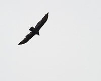 Turkey Vulture soaring. Sourland Mountain Preserve. Image taken with a Nikon D3s camera and 80-400 mm VR lens.