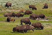 Bison or american buffalo (Bison bison)