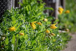 Tulipa sylvestris growing through self sown poppies