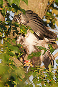A juvenile bald eagle (Haliaeetus leucocephalus) feeds on a fish caught by one of its parents. The parent delivered the fish to the nest. Of the two young eagles, this one arrived first and carried the fish away to another tree where it could eat in private.