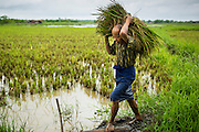 14 JUNE 2013 -  PANTANAW, AYEYARWADY, MYANMAR: A worker carries bundles of baby rice out of a field near Pantanaw. The rice will be replanted until it reaches maturity. Much of the agricultural industry in Myanmar still uses human and animal power to get work done, compared to neighboring Thailand, where the most of the work is mechanized. After decades of military mismanagement that led to years of rice imports, Myanmar (Burma) is on track to become one of the world's leading rice exporters in the next two years and could challenge traditional rice exporter leader Thailand. Political and economic reforms have improved rice yields and new mills are being built across the country. Burmese eat more rice than any other people in the world. The average Burmese consumes 210 kilos of rice per year and rice makes up 75 percent of the diet.   PHOTO BY JACK KURTZ