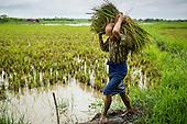 Rice Farming in the Delta