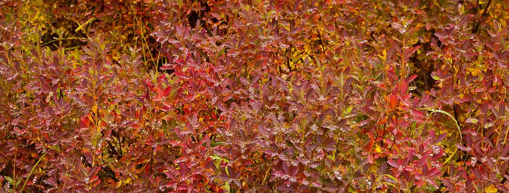 Huckleberry (Vaccinium membranaceum)leaves macro in autumn, Cascade Mountain Range, Washington, USA panorama