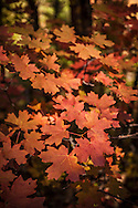 West Fork, Fall color, Big tooth maples, Oak Creek Canyon, Sedona, AZ
