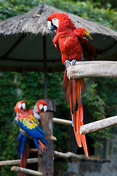 Scarlet Macaws (Ara macao) at the hotel Casa Santa Domingo, Antigua, Guatemala