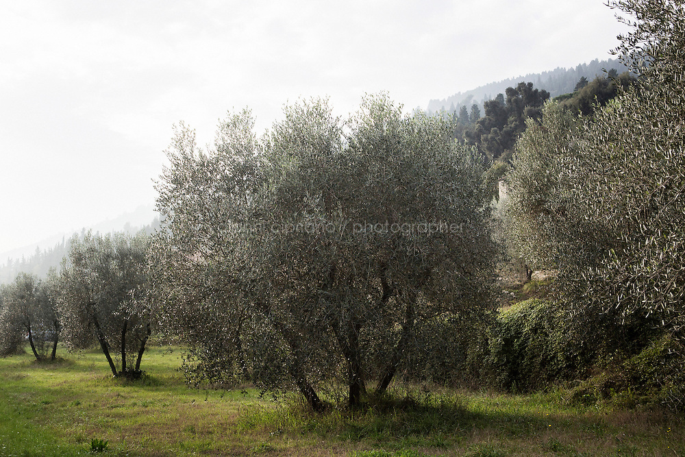 CALENZANO, ITALY - 24 NOVEMBER 2014: Olive oil trees of olive oil producer Federico Dufour were infected by the Bactrocera oleae, an olive fruit fly that this year ravaged his crop, in Calenzano, 20 kilometers north of Florence, Italy, on November 24th 2014.<br /> <br /> The olive harvest was practically non-existent this fall in Calenzano because of the Bactrocera oleae, an olive fruit fly that this year ravaged entire olive crops. Italy's Institute of Services for Agriculture and Food Market, or ISMEA, calculated that olive oil production fell on average by 35 percent from 302,000 tons from 463,000 the previous year.