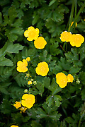 English buttercups, Ranunculus repens, in meadow, UK