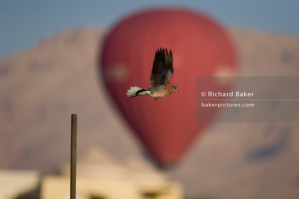 A bird in flight against the distant background of a landing hot air balloon in a West Bank village of the modern city of Luxor, Nile Valley, Egypt.