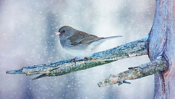 A Junco out catching snowflakes on a cold winter afternoon