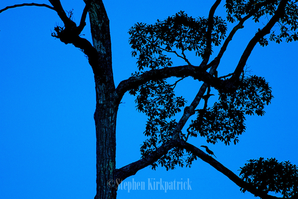 Silhouetted by a bright, blue sky a tree and two Lettered Aracaris become part of the scenery - Amazonia, Peru
