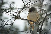Observer | Siberian Jay, Saariselkä, Finland