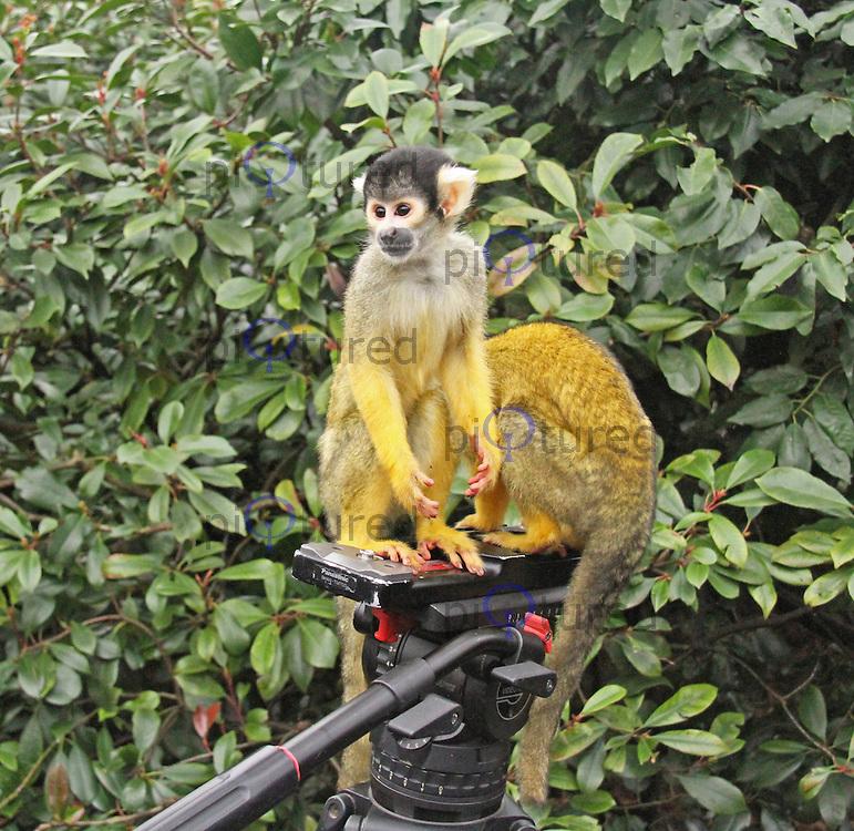 Bolivian Squirrel Monkey, ZSL London Zoo Annual Stocktake 2015, Regents Park, London UK, 05 January 2015, Photo By Brett D. Cove