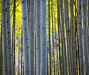Aspens grove in the San Juan mountains of Colorado