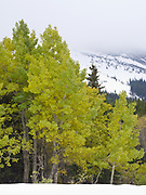 Trembling Aspen and early fall snow southeast of Swiftcurrent Lake, Many Glacier, Glacier National Park, Montana.