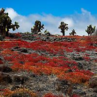South America, Ecuador, Galapagos Islands. Landscape of South Plaza Island.