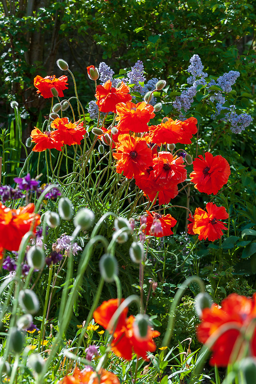Poppies in Kirkbank Cottage